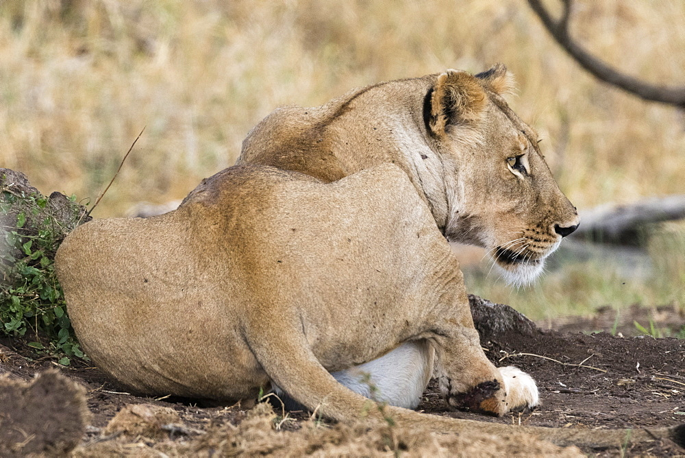 A lioness, Panthera leo, with full stomach after feeding, Tsavo, Kenya.