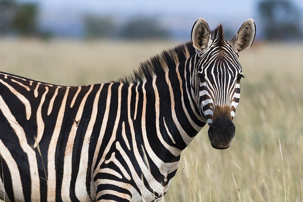 Portrait of a common zebra, Equus quagga, looking at the camera, Tsavo, Kenya.
