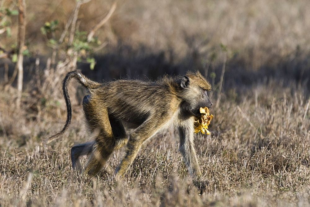 A yellow baboon (Papio hamadryas cynocephalus) walking with some food in its mouth, Tsavo, Kenya, East Africa, Africa