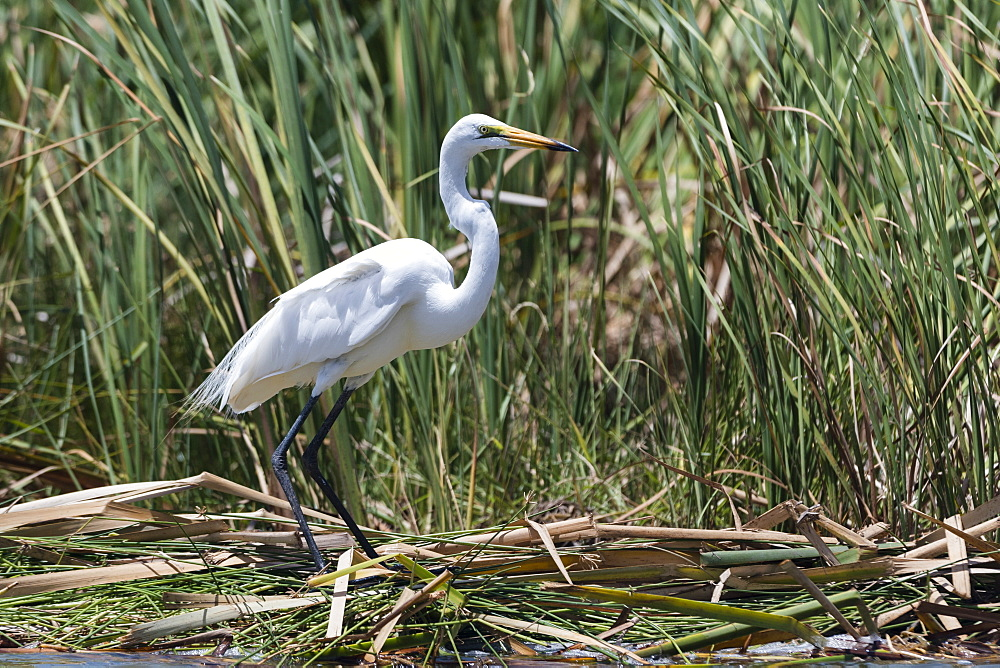 A great egret (Egretta alba) on a lake shore, Tsavo, Kenya, East Africa, Africa