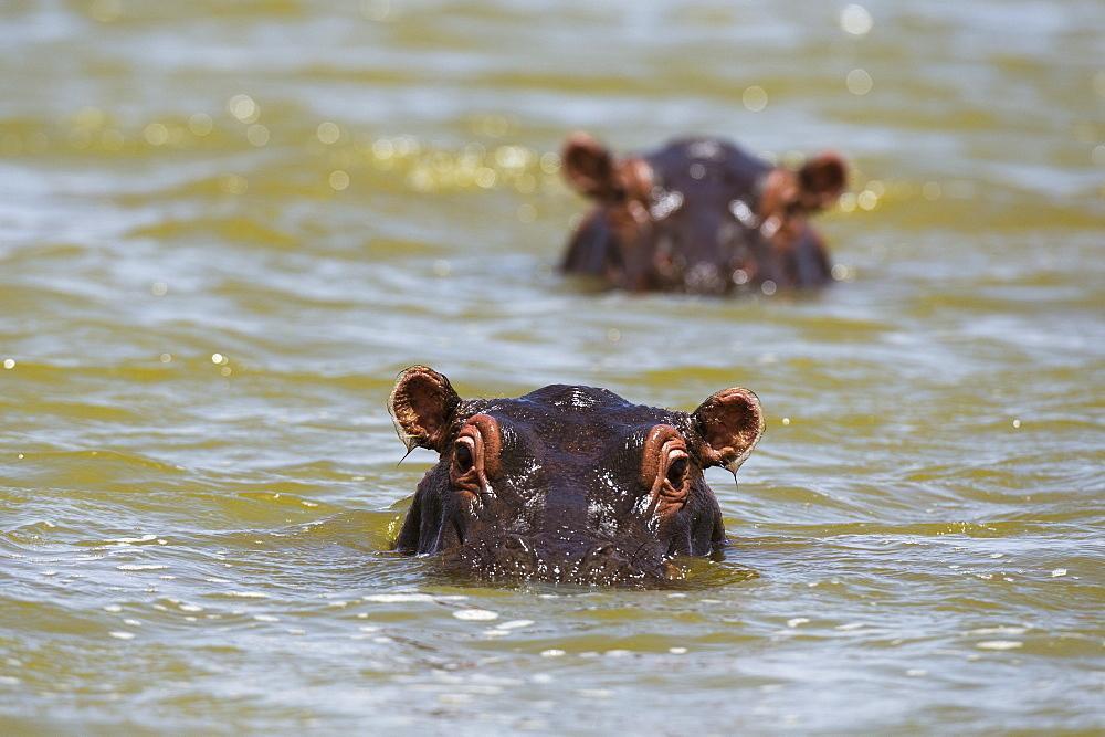 Close up of hippos, Hippopotamus amphibius, submerged in the lake Gipe, Tsavo, Kenya.