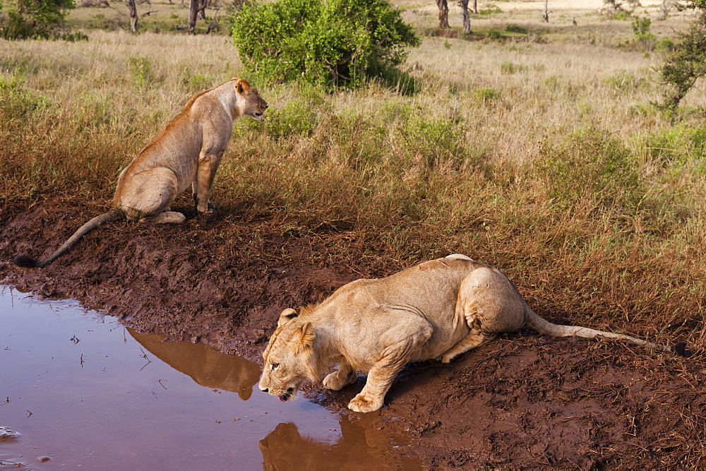 Two lions, Panthera leo, at a waterhole, one drinking, Tsavo, Kenya.