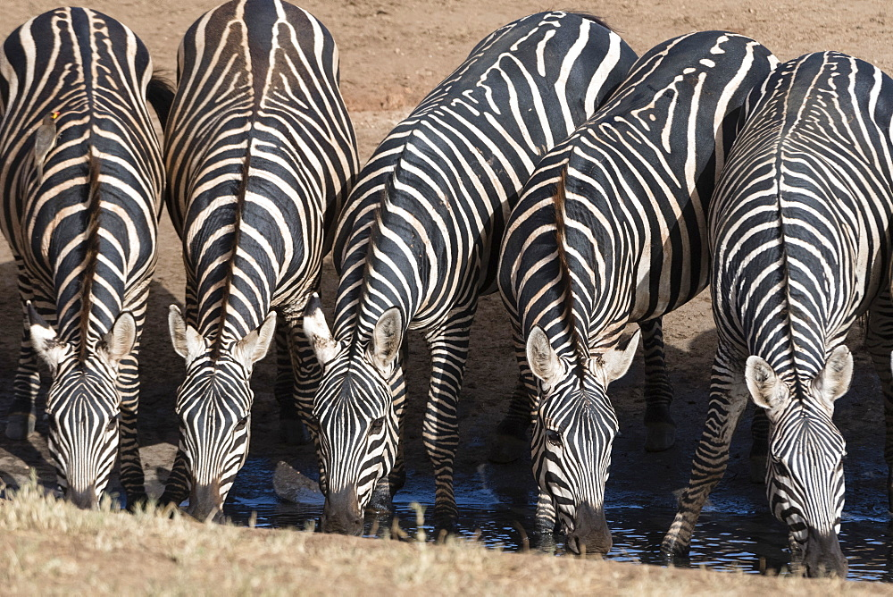 Common zebras (Equus quagga) drinking at a waterhole, Tsavo, Kenya, East Africa, Africa