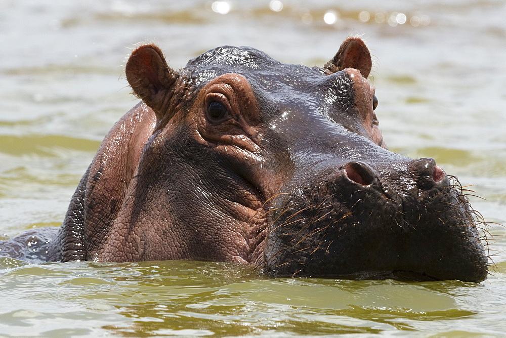 Close up of an hippopotamus, Hippopotamus amphibius, submerged in the lake Gipe and looking at the camera, Tsavo, Kenya.