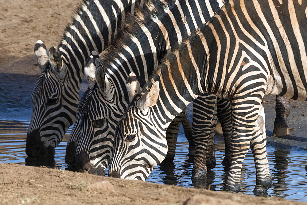 Common zebras , Equus quagga, drinking at a waterhole, Tsavo, Kenya.