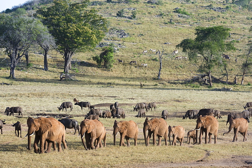 A breeding herd of African elephants (Loxodonta africana) walking on a plain to reach a waterhole, Tsavo, Kenya, East Africa, Africa