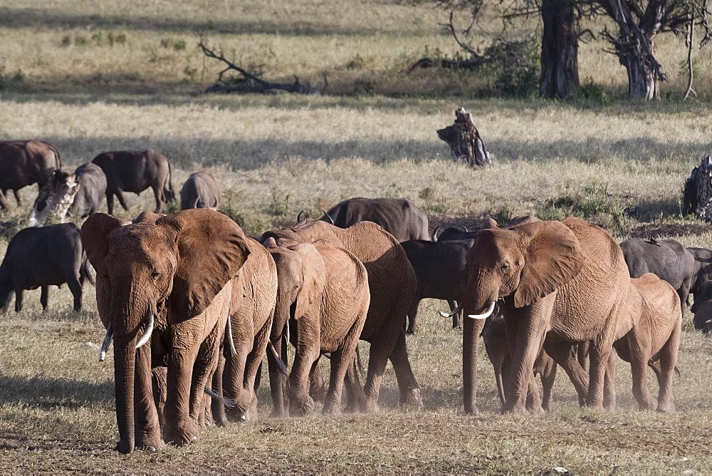 A breeding herd of African elephants (Loxodonta africana) walking on a plain to reach a waterhole, Tsavo, Kenya, East Africa, Africa