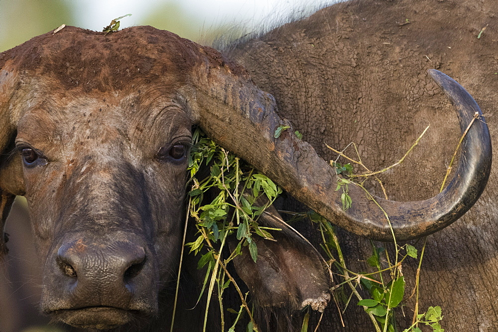 Close up portrait of an African buffalo, Syncerus caffer, looking at the camera, Tsavo, Kenya.
