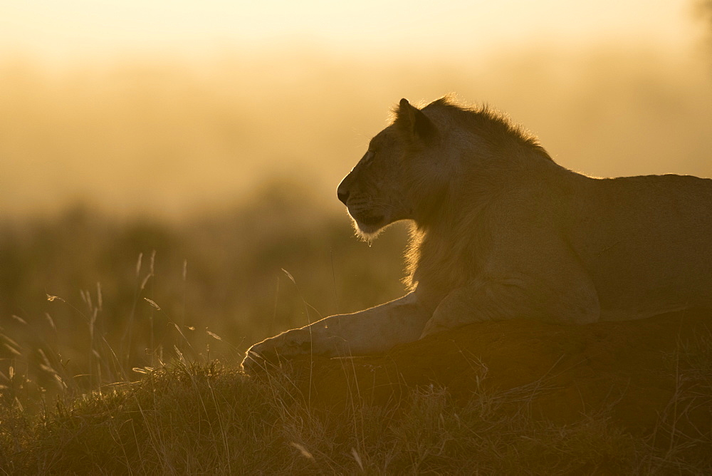 A lion, Panthera leo, resting on a termite mound at sunset.