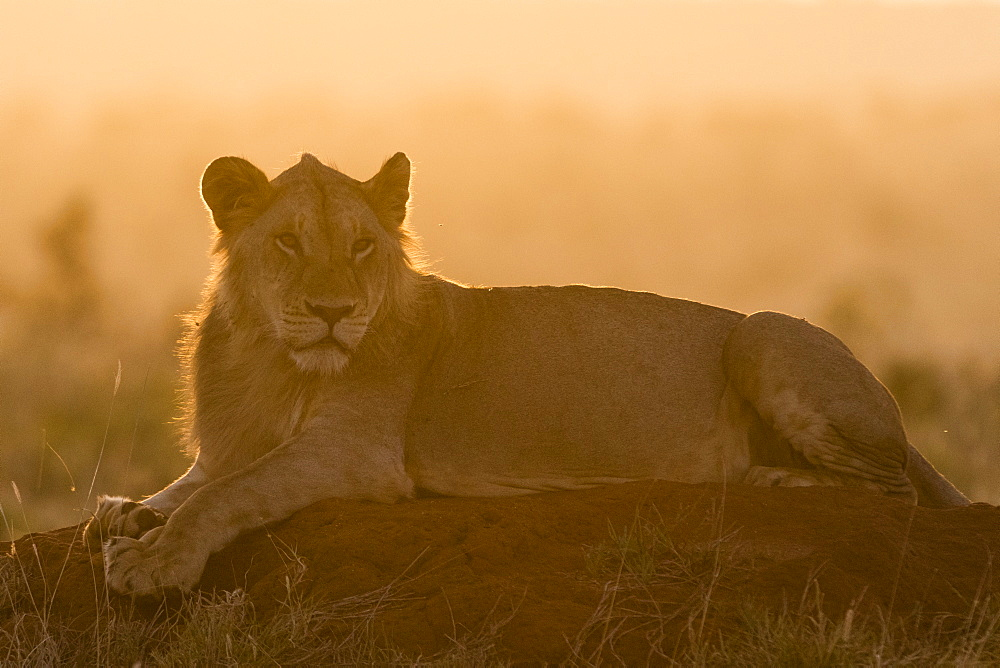 A lion, Panthera leo, resting on a termite mound at sunset, Tsavo, Kenya.