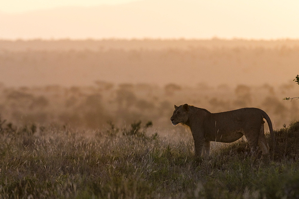 A lion, Panthera leo, at sunset standing, Tsavo, Kenya.
