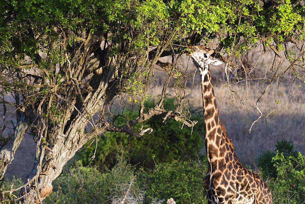 A Maasai giraffe, Giraffa camelopardalis tippelskirchi, feeding on a tree.