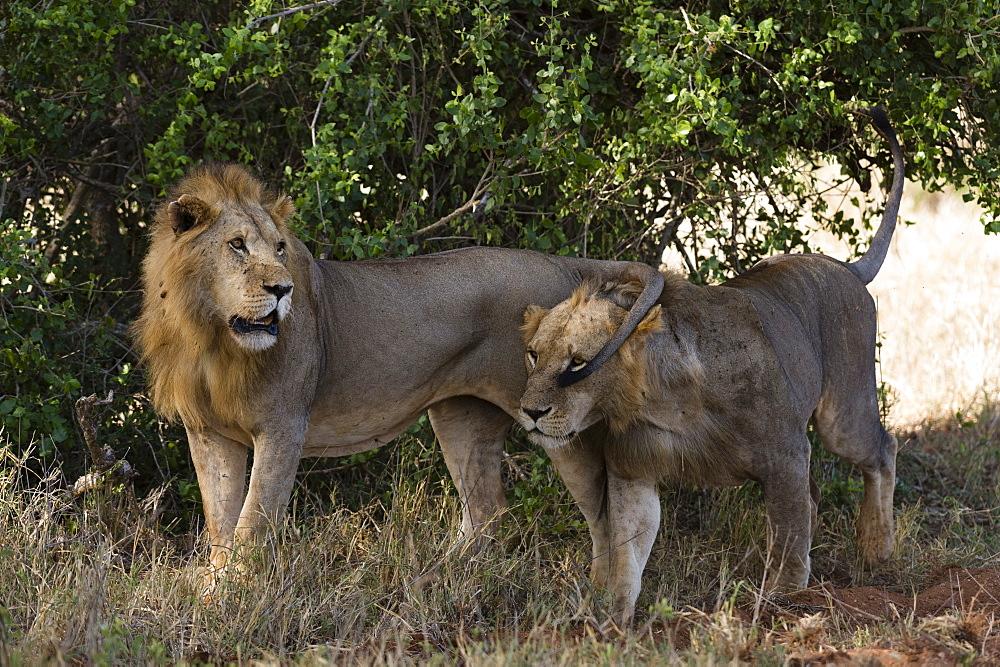 Two lions (Panthera leo) patrolling, Tsavo, Kenya, East Africa, Africa