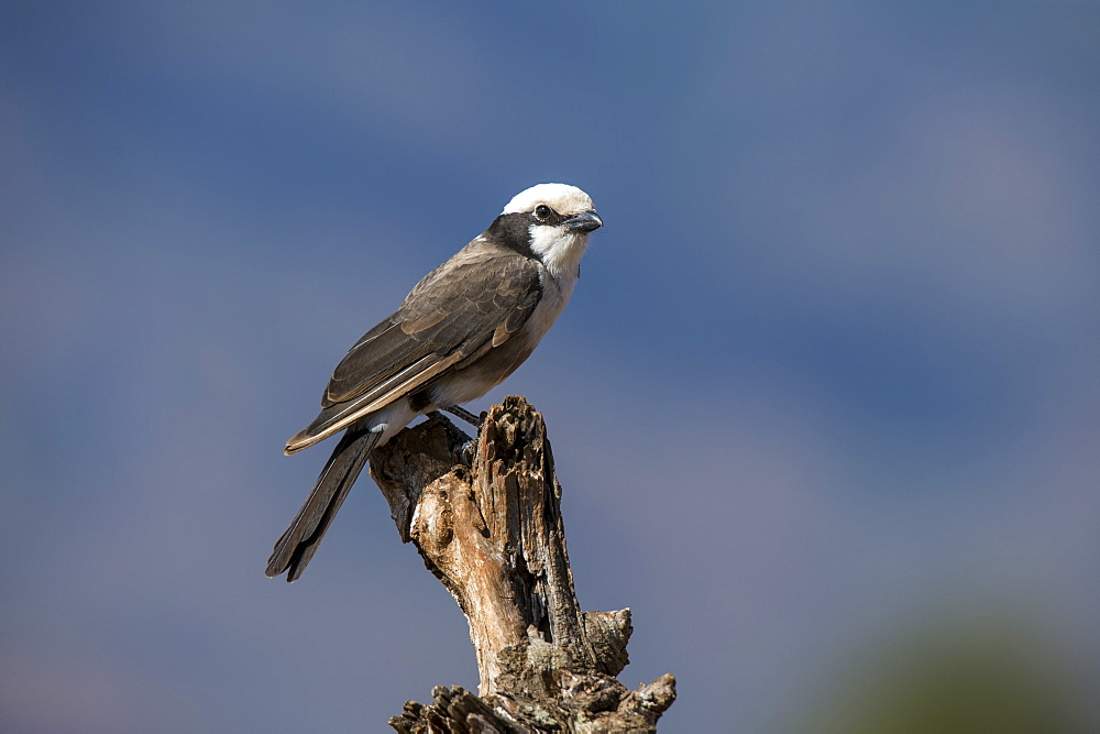 A northern white-crowned shrike (Eurocephalus rueppelli), perching, Tsavo, Kenya, East Africa, Africa