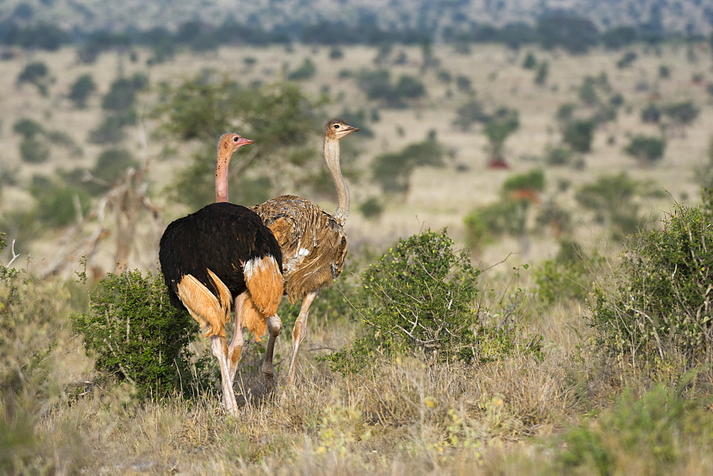 A couple of ostriches (Struthio camelus), Tsavo, Kenya, East Africa, Africa