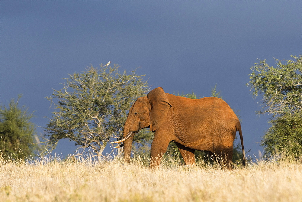 An African elephant (Loxodonta africana) walking in the bush, Tsavo, Kenya, East Africa, Africa