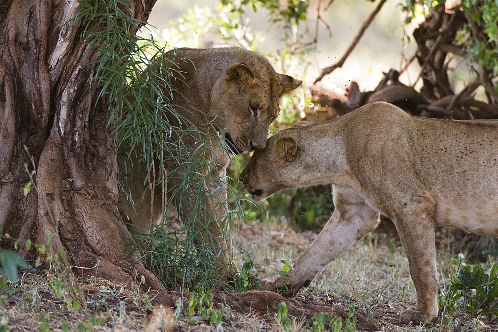 Two lions, Panthera leo, in a tree shade, Tsavo, Kenya.