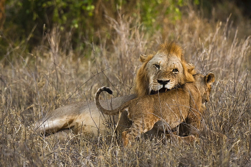 A male lion, Panthera leo, with its cub, Tsavo, Kenya.