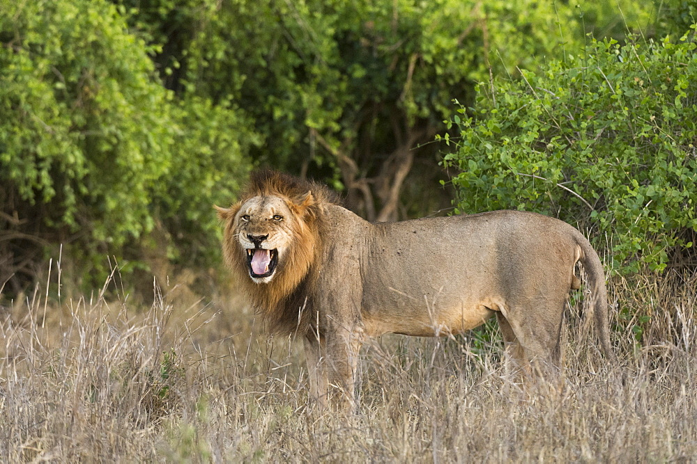 A male lion, Panthera leo, doing the flehmen grimace, Tsavo, Kenya.