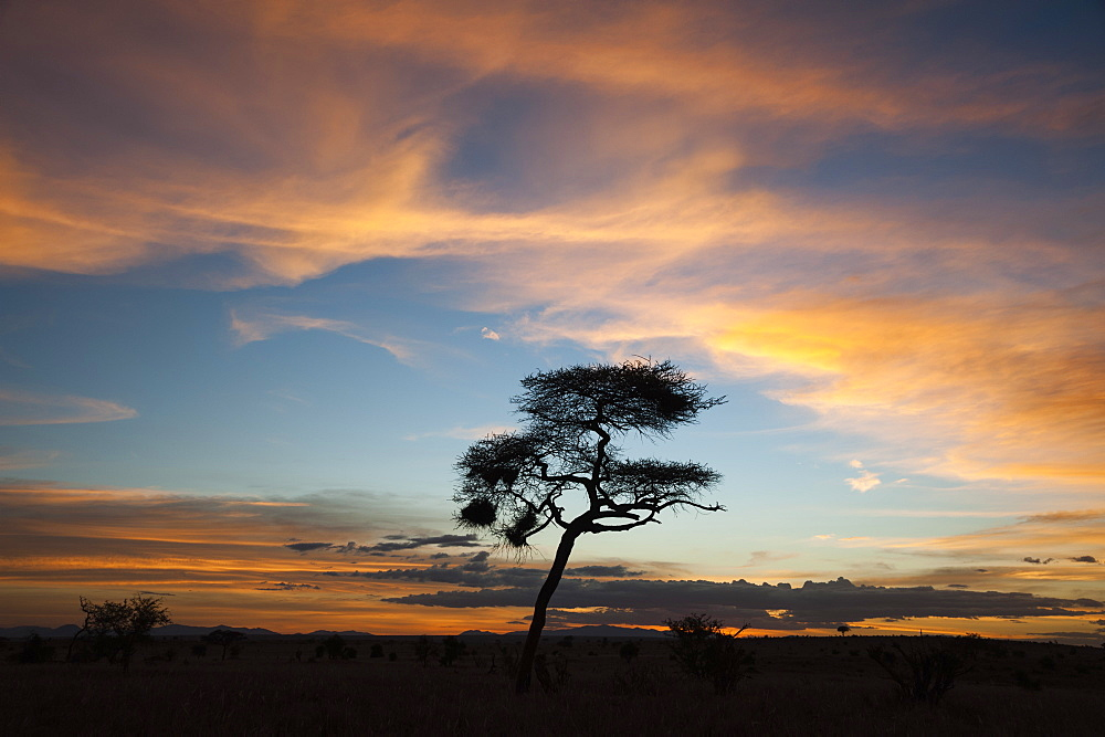 An acacia at sunset, Tsavo, Kenya, East Africa, Africa