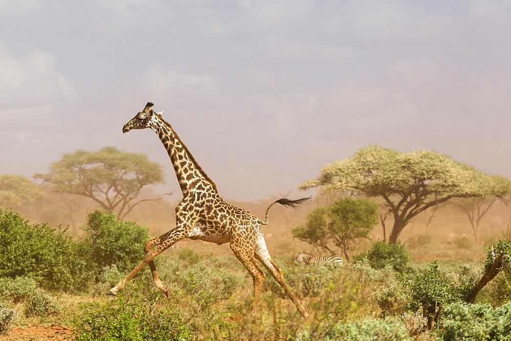 A Maasai giraffe, Giraffa camelopardalis tippelskirchi, running in a dust storm, Tsavo, Kenya.