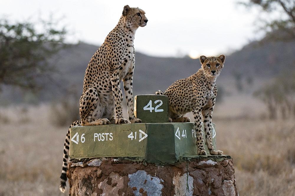 A cheetah, Acinonyx jubatus, and her young surveying the savannah at dusk, Tsavo, Kenya.