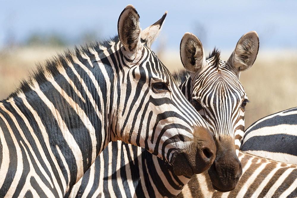 Portrait of two common zebras , Equus quagga, Tsavo, Kenya.