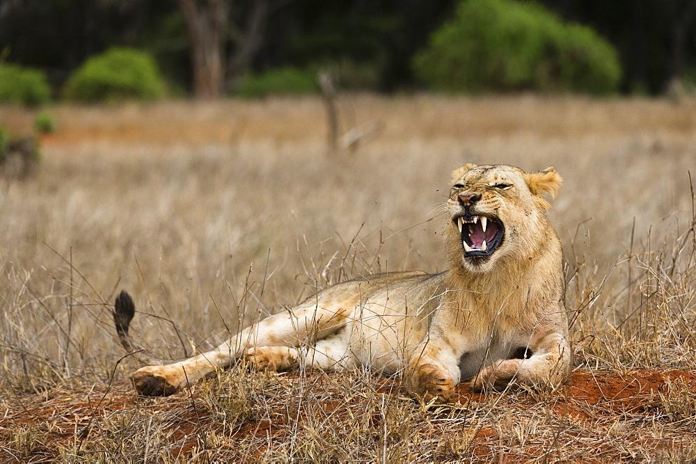 A lion, Panthera leo, yawning, Tsavo, Kenya.
