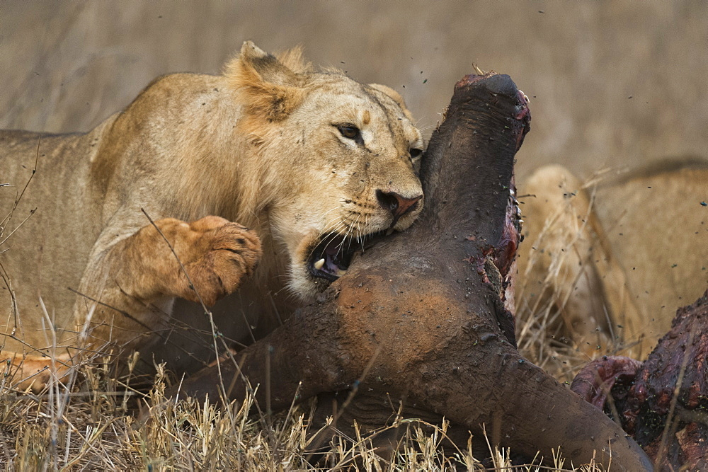 A sub-adult male lion, Panthera leo, feeding on a buffalo kill, Tsavo, Kenya.