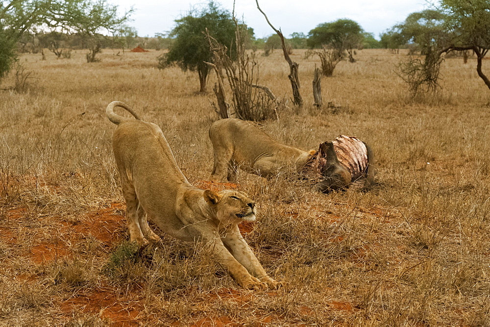 Two lions, Panthera leo, feeding on a buffalo kill, Tsavo, Kenya.