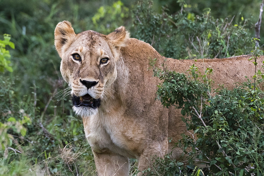 Portrait of a lioness (Panthera leo) in the bush on a kopje known as Lion Rock in Lualenyi reserve, Tsavo, Kenya, East Africa, Africa