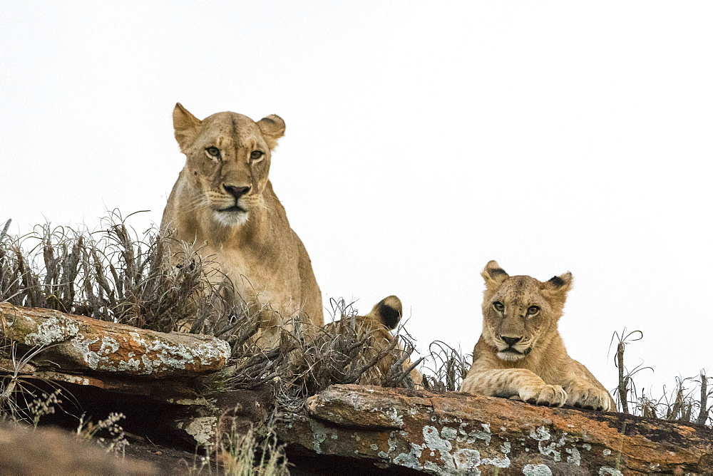 A lioness and cubs, Panthera leo, on a kopje known as Lion Rock in Lualenyi reserve. Tsavo, Kenya.