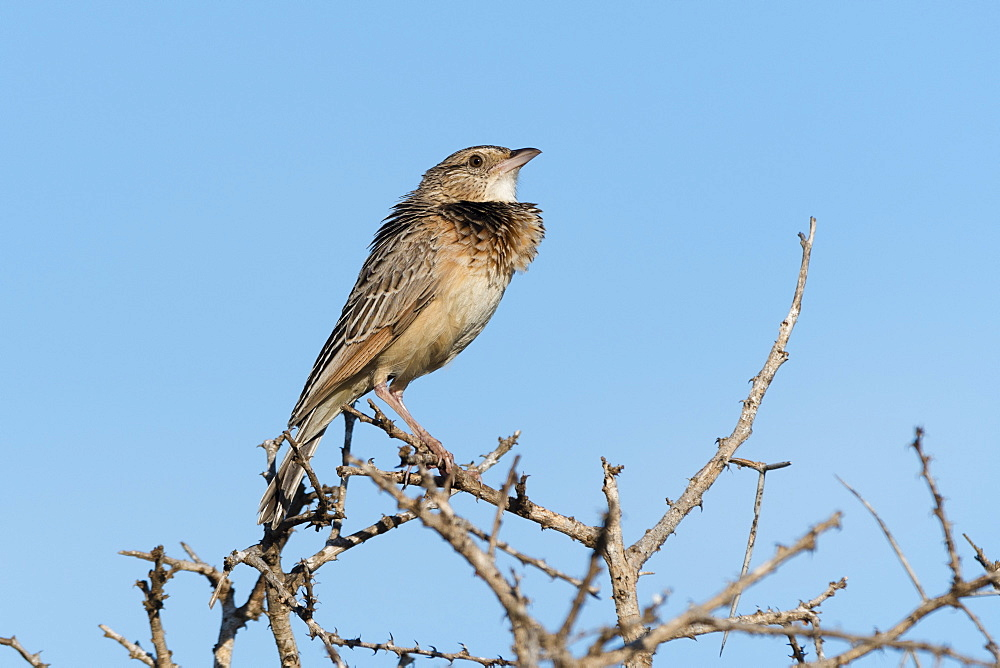 A red-winged lark, Mirafra hypermetra, perching. Tsavo, Kenya.