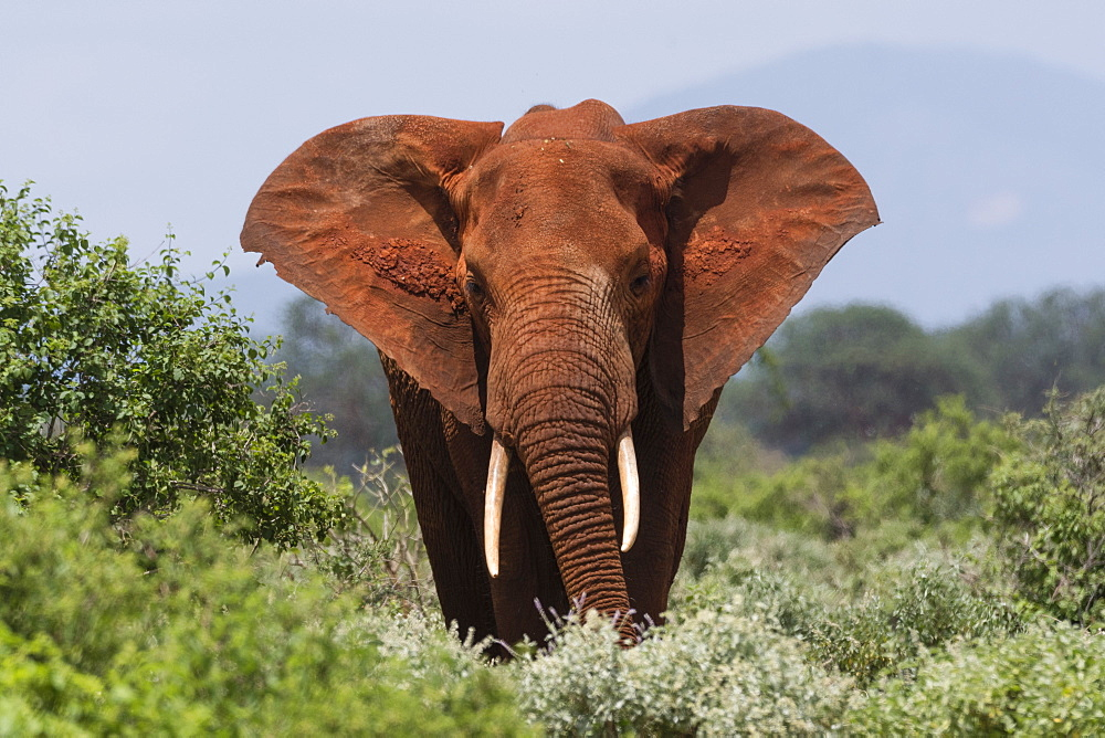 African elephant (Loxodonta africana), Tsavo, Kenya, East Africa, Africa