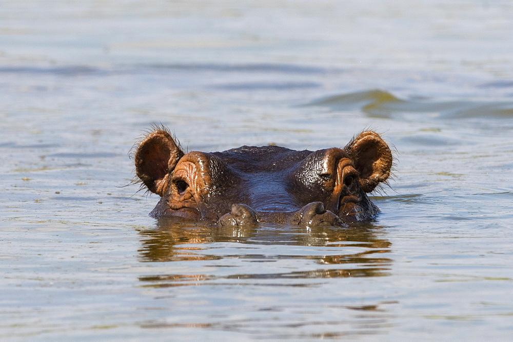 A Hippopotamus (Hippopotamus amphibius) looking at the camera, Tsavo, Kenya, East Africa, Africa