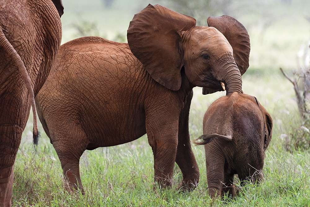 A young African elephant, Loxodonta africana, and a calf., Tsavo, Kenya.