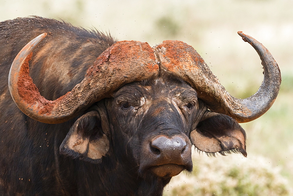 African buffalo (Syncerus caffer), Tsavo, Kenya, East Africa, Africa