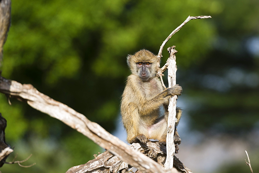 A baby yellow baboon, Papio hamadryas cynocephalus, resting on a tree branch, Tsavo, Kenya.