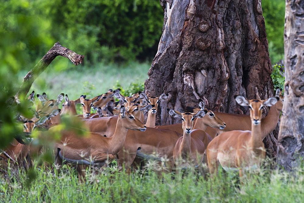 An harem of female impalas (Aepyceros melampus), Tsavo, Kenya, East Africa, Africa