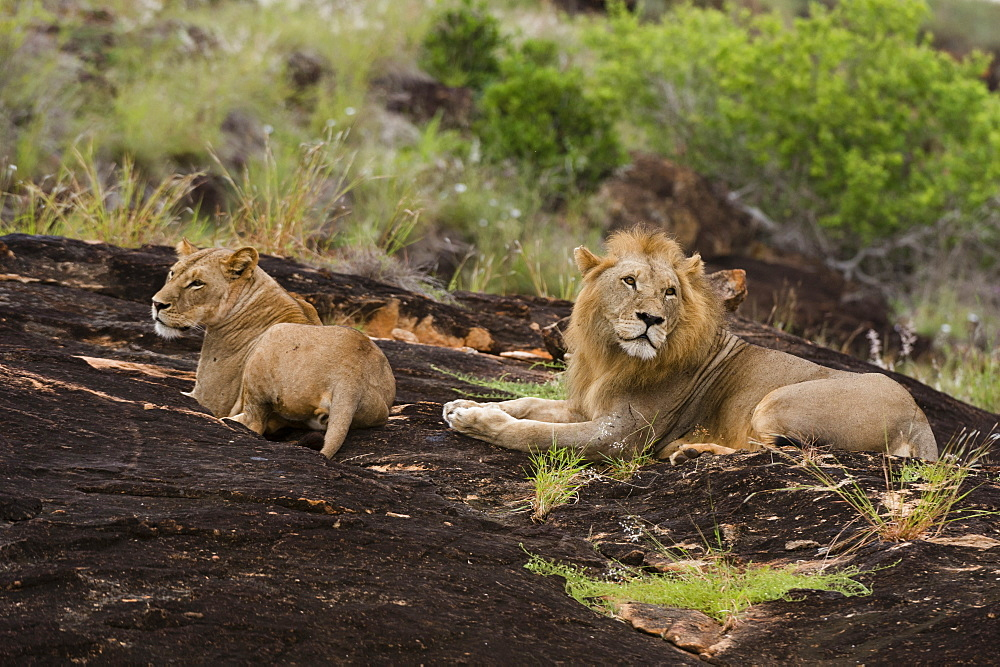 A lion pair (Panthera leo) on a kopje known as Lion Rock in Lualenyi reserve, Tsavo, Kenya, East Africa, Africa