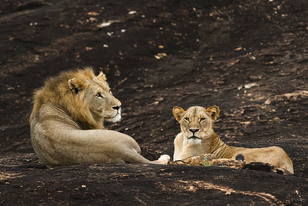 A lion couple, Panthera leo, on a kopje known as Lion Rock in Lualenyi reserve, Tsavo, Kenya.