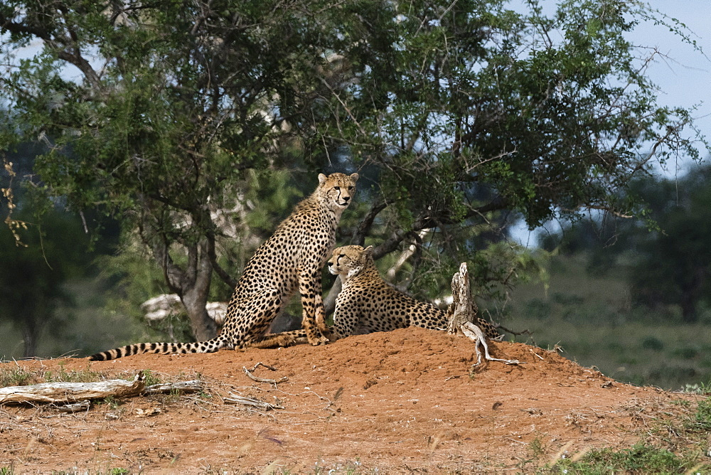 Two cheetah (Acinonyx jubatus) on a termite mound, Tsavo, Kenya, East Africa, Africa