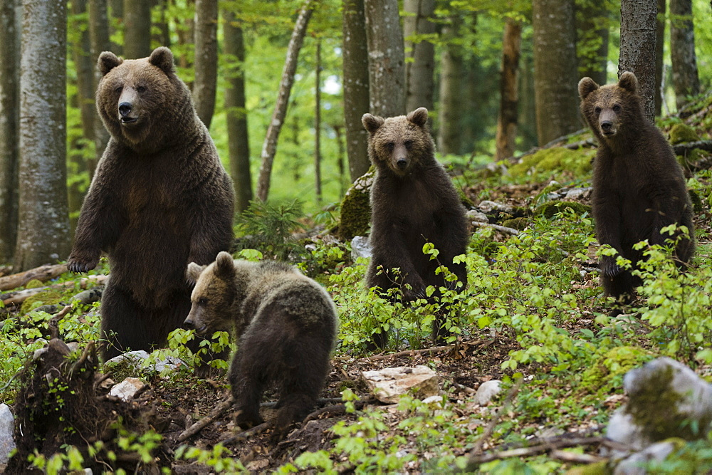 European brown bears (Ursus arctos) and cubs, Slovenia, Europe