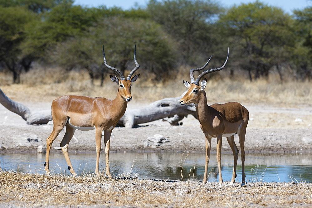 Two male impalas (Aepyceros melampus) at waterhole, Botswana, Africa