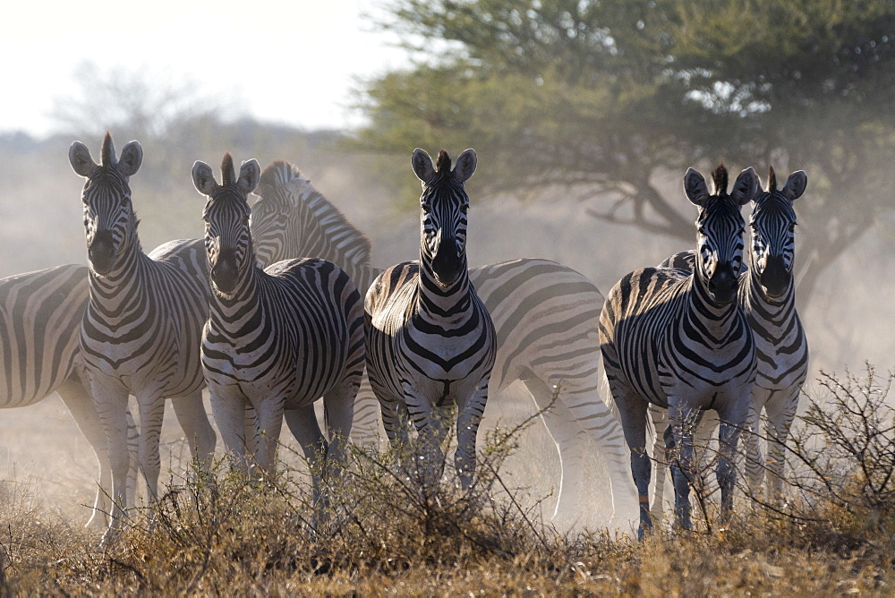 Burchell's zebra, Equus quagga burchellii, looking at the camera.