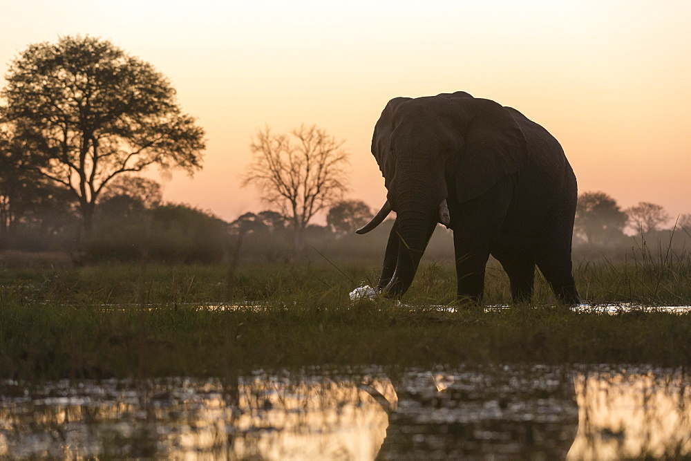 An African elephant, Loxodonta africana, walking in the Khwai river at sunset.