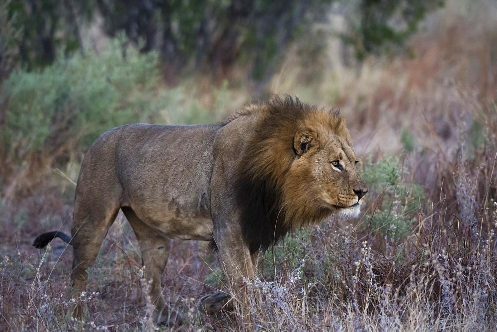 A male lion (Panthera leo) patrolling, Botswana, Africa - 741-5499