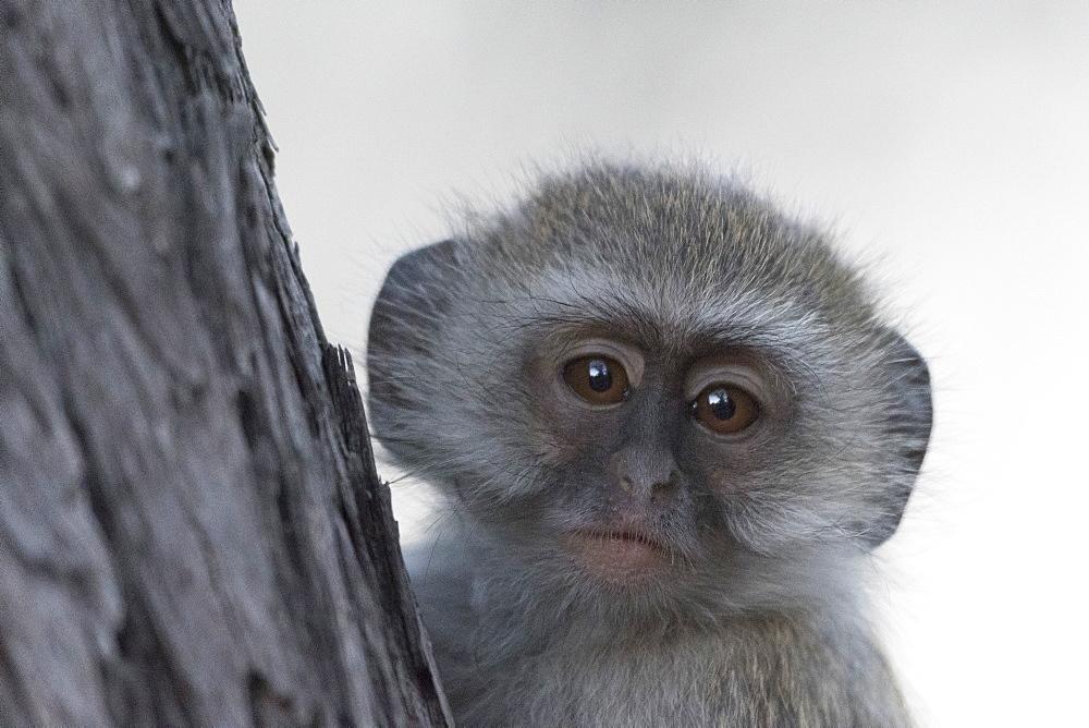 Vervet monkey (Chlorocebus pygerythrus), Moremi Game Reserve, Okavango Delta, Botswana, Africa