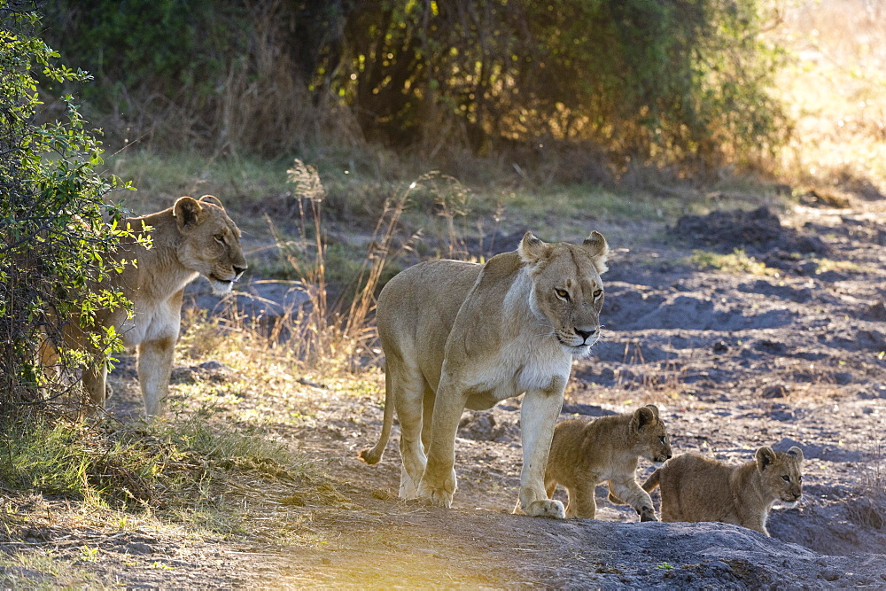Lions (Panthera leo), Khwai Conservation Area, Okavango Delta, Botswana, Africa