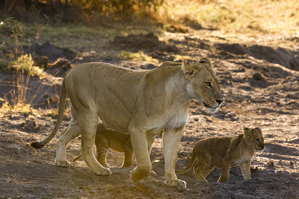 A lioness (Panthera leo) walking with its cubs, Botswana, Africa